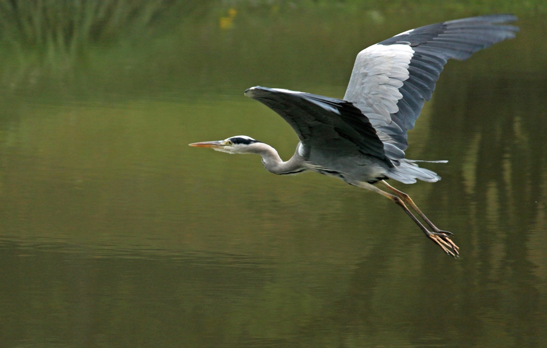 Aquatic bird the Grey heron (Ardea cinerea)