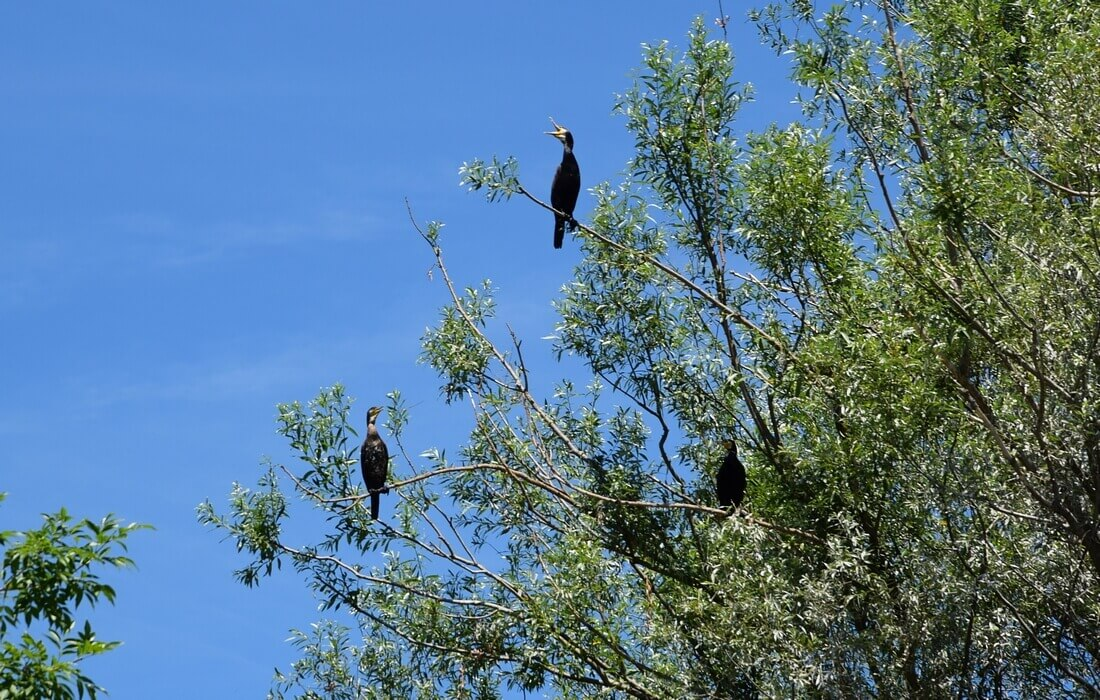 Cormorans in croatian nature parks