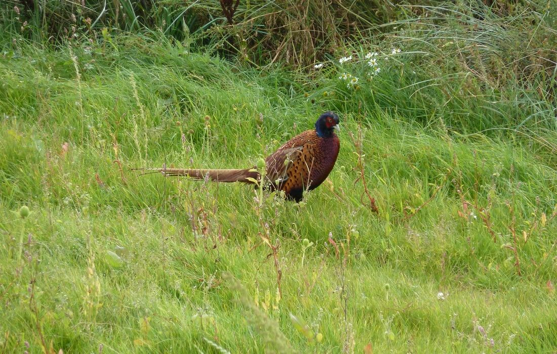 Common Pheasant in green landscape of Kopacki rit Nature Park