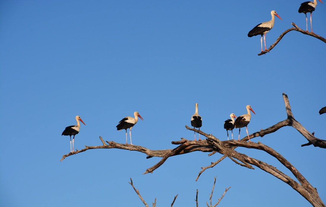 White storks included in birdwatching programme