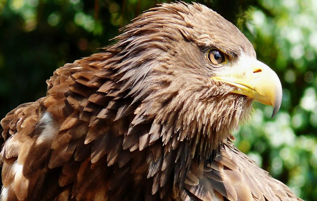 White-tailed eagle (Haliaeetus albicilla) — a large bird of prey