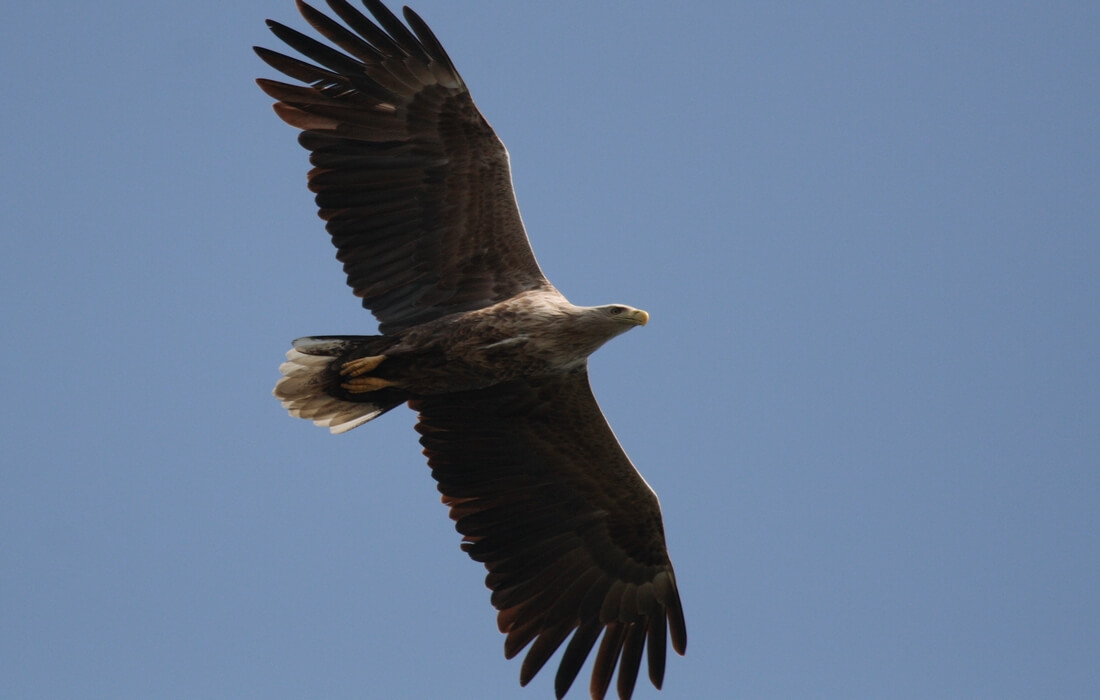 Great White-tailed Eagle, resident of Kopacki rit