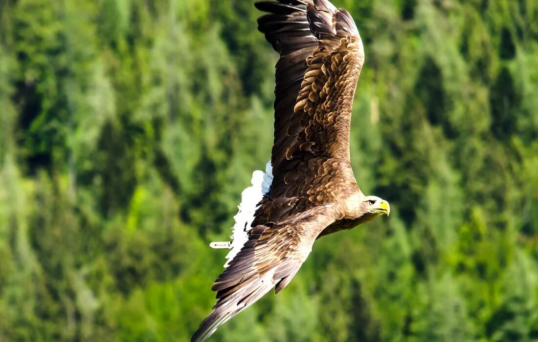 White-tailed Eagle, symbol of Kopacki rit