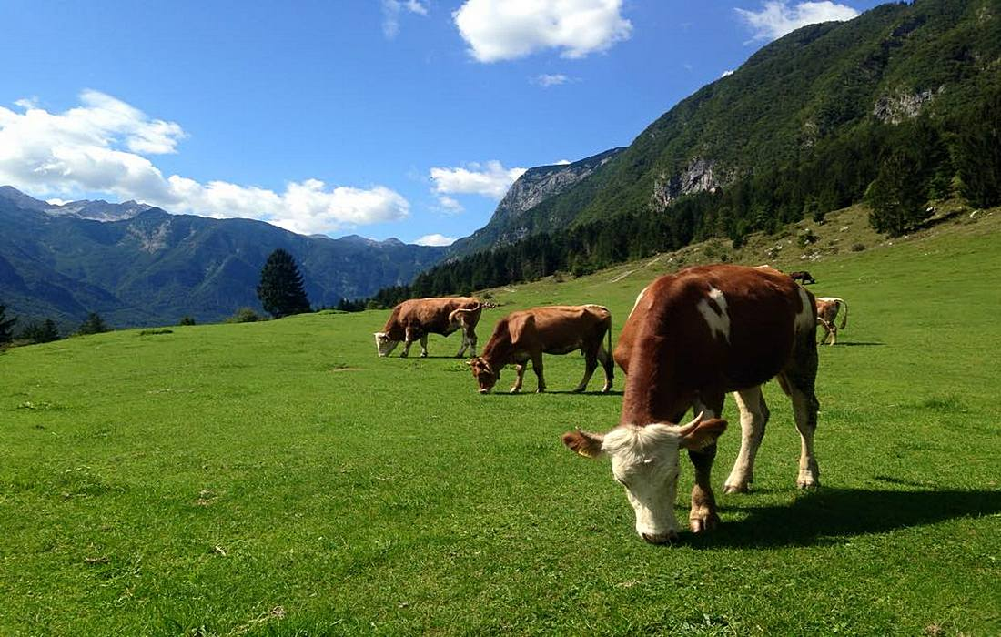 Outdoor grazing for dairy cows in eco cheese production