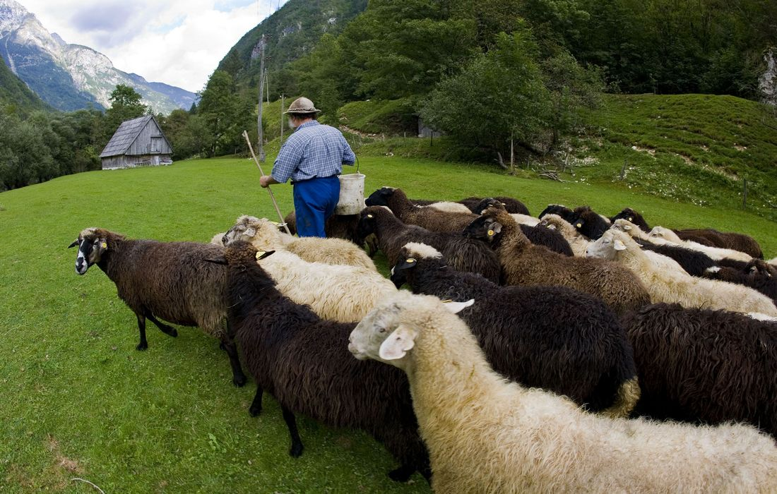 Trenta, a shepherd drives his sheep to alpine pasture