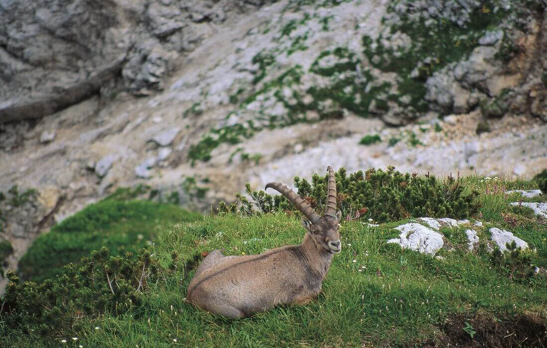 Capricorn - attractive resident of Julian Alps